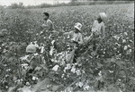 Cotton pickers, Rossville, TN, 1977